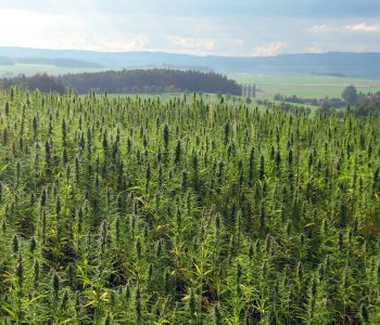 Hemp field in Czech Republic