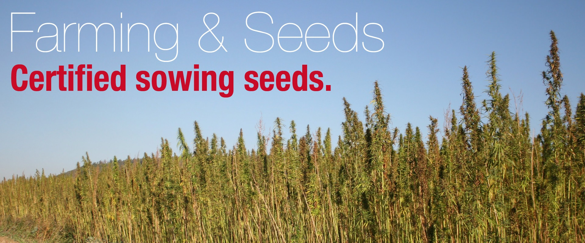 Hemp farming and certified sowing seeds.