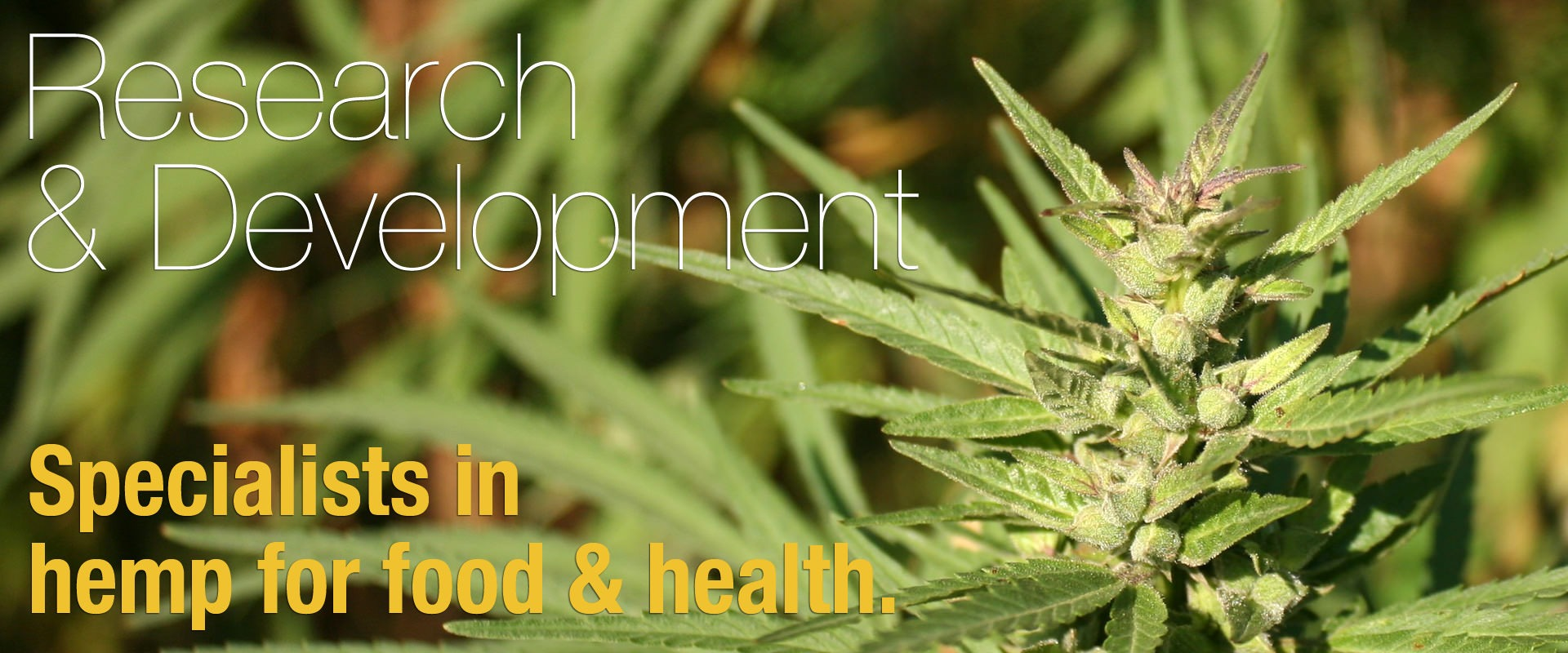 Hemp research and development